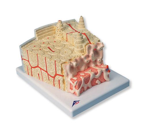 骨结构模型-a79-上海益联科教设备有限公司
