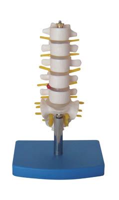 供应小型腰椎带尾椎骨模型,YLM A119A,腰椎模型,尾椎骨模型