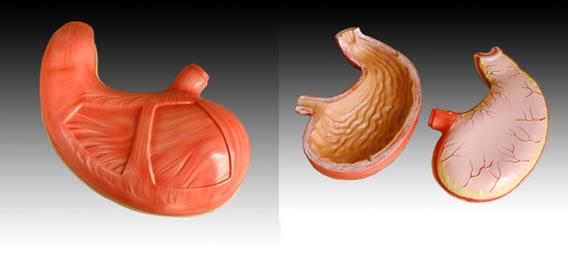 供应胃解剖模型,YLM A306,解剖模型