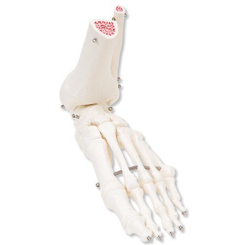 足骨骼,带有不锈钢丝连接可活动的胫骨和腓骨