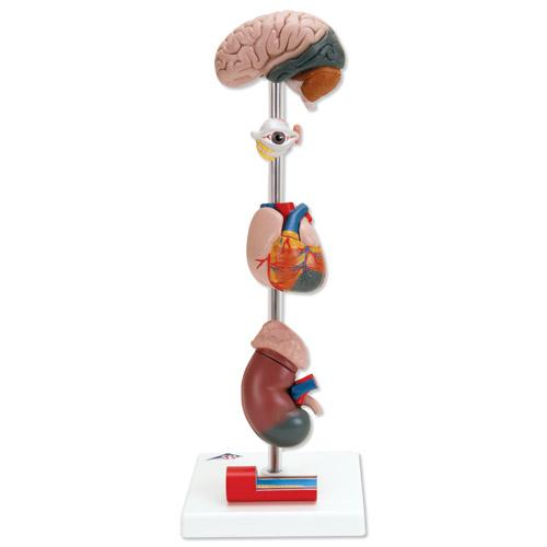 高血压模型,7部分-g35-上海益联科教设备有限公司